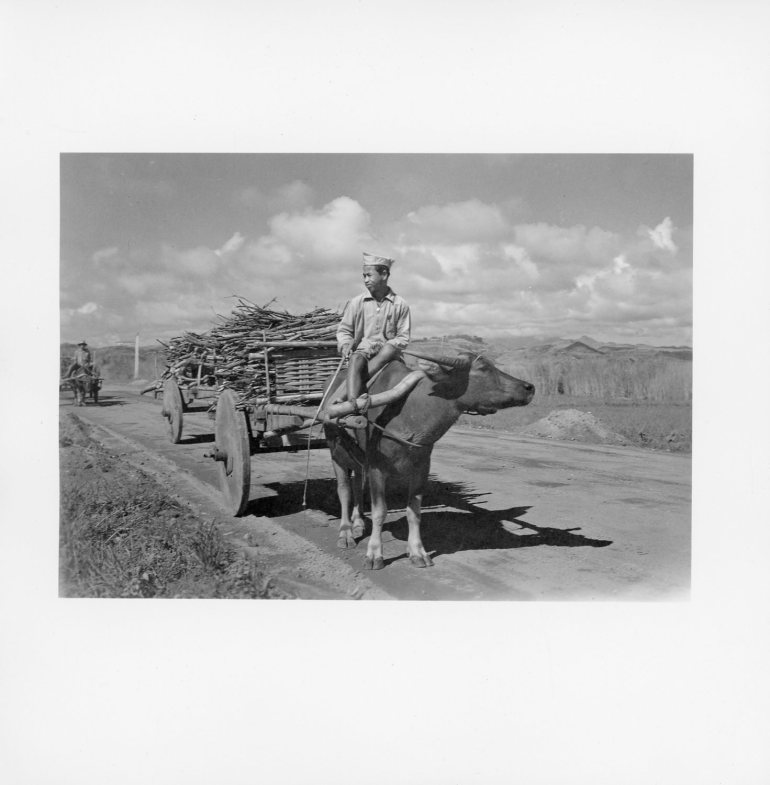 Filipino infantryman on oxen, Philippines 1945 (Photograph: Staff Sgt. W. R. Allen)